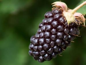 boysenberries-history