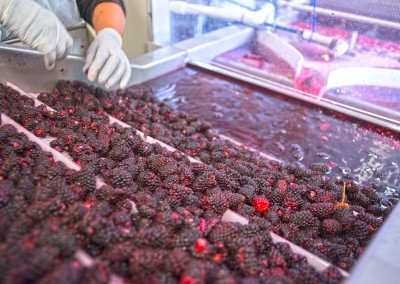 boysenberry-processing-n4