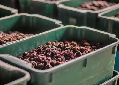 boysenberry-processing-n6